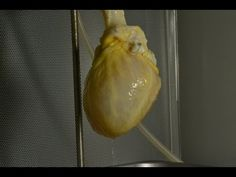 How do you make a working human heart? Scientists can turn stem cells into beating heart cells, but getting them to organize into a 3D heart requires a scaffold. (Credit: Nature Video) Nature Publishing Group