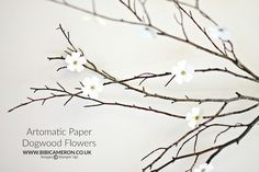 Aromatic Paper Dogwood  Flowers | Video