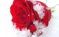 La Rosa Dell' Inverno (Winter Rose) by beakerbeetle on SoundCloud Snow Rose, Winter Rose, Winter Magic, Rose Images, Hd Images, For Facebook, Lace Insert, Cool Landscapes, New Tricks