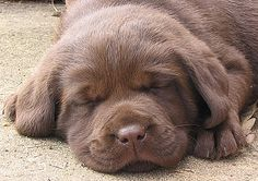 I WILL have a chocolate lab when I grow up.