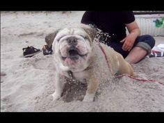 Funny English Bulldog at the beach