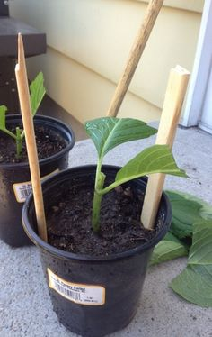 After the soil is moist use two sticks and place them in the pot. They have to be taller than the cutting.