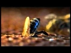 Bees and People (VIDEO) The documentary film capturing the most interesting moments of the bee life especially in the beehive. The film is composed of the big numbe...