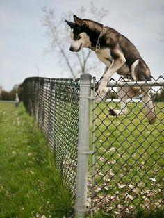 Siberian Husky Jump