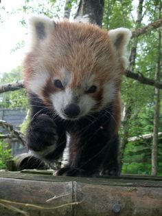 red panda says hello