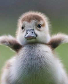 Fuzzy baby duckling / duck / ducky love animal photography pictures and photos #ducks ❤️