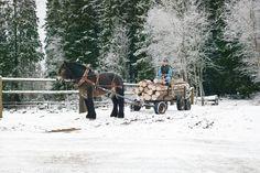North Swedish horse, Nordsvenk häst.