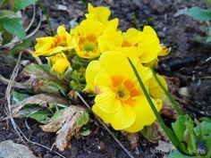 """""""WER BRAUCHT SCHON BLÄTTER … dachte sich die Primel (Primula), wenn man so schön blühen kann."""""""