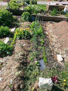 30 04 2015 (culture de choux fleurs-haricots -oignons - carottes - salades à tondre) cette automne cette parcelle sera cultivée uniquement sur butte de permaculture