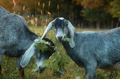 """""""While the color outside is just absurd right now the goats are busy foraging for the last of the green leaves..."""""""
