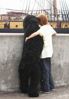 black russian terrier.  love