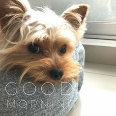 Yorshire Terrier, Silky Terrier, My Precious, Yorkies, Love People, Yorkshire, Cute Puppies, Good Morning, Hearts