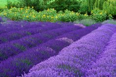 pictures of flowers in purple - Google Search