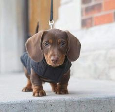 Simple Weiner Chubby Adorable Dog - cab1725d4824d465a3ff385cd4584161  Trends_389466  .jpg