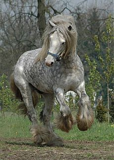 I adore percheron dapples! All The Pretty Horses, Beautiful Horses, Animals Beautiful, Cute Animals, Beautiful Babies, Big Horses, Horse Love, Grey Horses, Clydesdale