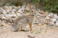 Eastern Cottontail (Sylvilagus floridanus), the most common rabbit species in Texas. Weighs two- to three-pounds, brown or gray coat, white belly, and distinctive white tail.   A related species, the desert cottontail (Sylvilagus audubonii), occurs in Texas and the desert Southwest. Cottontails are true rabbits; Jackrabbits are a member of the hare family. Hares are born virtually self-sufficient; rabbits are born hairless, blind, and helpless. It is an essential element of the food chain.
