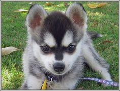 4 Dog Puppy Alaskan Klee Kai Dogs Puppies Greeting Notecards/ Envelopes Set. $6.99, via Etsy.