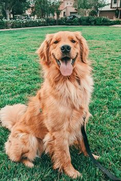 Welcome to Cute Creatures, a channel dedicated to cute, fluffy cats and curious, rambunctious dogs. We are here to fill your life with more furry and funny t. Cute Dogs Breeds, Best Dog Breeds, Cute Dogs And Puppies, Pet Dogs, Doggies, Pets, Baby Dogs, Golden Retrievers, Chien Golden Retriever
