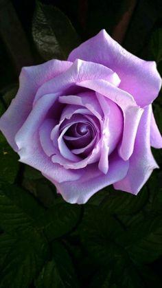 Purple Roses, Pink Purple, Purple Colors, Blue Moon Rose, Sweet Moon, Love Rose, Flower Power, Peonies, Beautiful Flowers