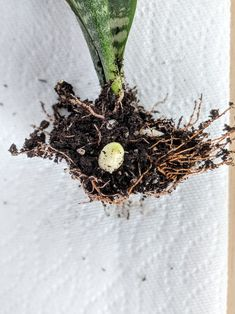 How to Propagate Snake Plants: Growing Snake Plant Cuttings - Garden Care, Garden Design and Gardening Supplies Short Plants, Large Plants, Cool Plants, Pothos Plant, Plant Cuttings, Garden Soil, Garden Care, Water Plants Indoor, Indoor Garden