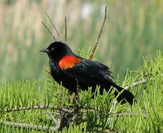 Red-winged Blackbird. One of the first birds I could identify as a child. one of my favorites!