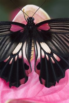 Pink and black butterfly outdoors nature flowers butterfly insects macro