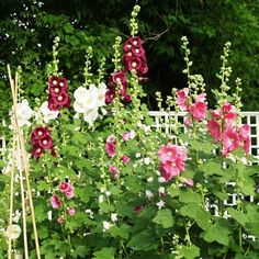 Grow Hollyhocks - Plant Indian Spring Mix Hollyhock SeedsThe semi-tall stalks of Indian Spring Hollyhock are filled with single and semi-double blooms in shades of pink. Prolifically blooming, Indian Spring Mix is known to bloom in its first year, which is unusual for Hollyhocks.