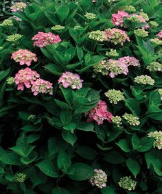 Although hydrangeas do not require annual pruning, occa­sionally snipping these plants can improve their performance.