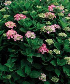 Pruning Hydrangeas fine garden, green, prune hydrangea, landscape improvements, backyard, pink hydrangea, flower, hydrangea finegarden, hydrangeas