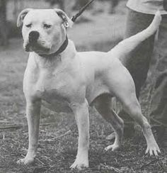 Watchdog White Fang American Bulldog American Bulldog Puppies Bulldog