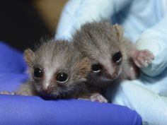 What has four eyes, two tails and the tiniest fingers you've ever seen? A pair of Grey Mouse Lemurs! The Duke Lemur Center welcomed twins, a male named Filbert and a female named Scuppernong, on June 18th.