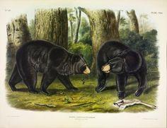 Audubon in hi-res via U Michigan: http://www.slate.com/content/slate/blogs/the_vault/2015/05/04/audubon_s_viviparous_quadrupeds_of_north_america_images_free_to_download.html