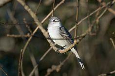 Alegrinho-de-barriga-branca (Serpophaga munda)