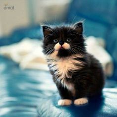 Cute little fluffy kitten