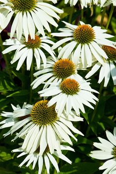 Echinacea purpurea. Cut back to near the ground in October.