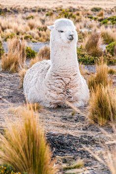 llama (looks like alpaca to me) Alpacas, Cute Creatures, Beautiful Creatures, Animals Beautiful, Nature Animals, Farm Animals, Animals And Pets, Cute Alpaca, Hilarious Animals