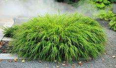 Hakonechloa macra (Japans gras) is een heel sierlijke pol breedbladig gras…