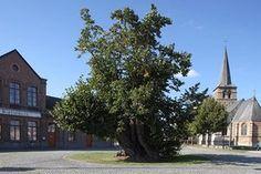The Massemen village lime tree : large-Leaved linden (Tilia platyphyllos), 380 to 440 years old, Massemen, East-Flanders, Belgium