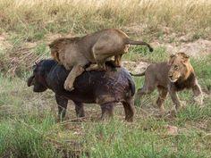 manada cazando a cria de hipopotamo