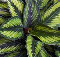 Calathea #leaves #green #plants Tropical Garden, Tropical Plants, Green Plants, Calathea Plant, Paper Plants, Plants Are Friends, Garden Shrubs, Bedroom Plants, Plant Illustration