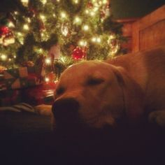 Labrador Christmas :)