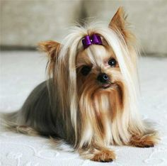 There are tons of cute dog haircuts in markets to make your puppy as adorable and lovely as possible. Check 25 cutest dog haircuts for your inspiration. Teacup Yorkie, Teacup Puppies, Cute Puppies, Dogs And Puppies, Yorshire Terrier, Terrier Breeds, Cute Dogs Breeds, Best Dog Breeds, Dog Haircuts