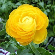 Ranunculus 'Golden Shades'