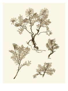 Sepia nature study , Posters and Prints at Art.com