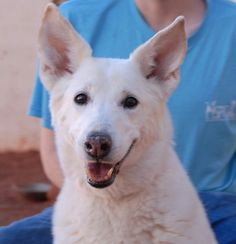 June is a benevolent girl debuting for adoption today at Nevada SPCA (www.nevadaspca.org).  She is a White Shepherd, 7 years of age and spayed, and eager to find a stable, responsible loving forever home.  At the time of rescue June was found near the Vegas beltway with numerous minor injuries, a rope around her neck, and no sign of responsible ownership.  Now healed and provided dental care, June's spirits are soaring!  Please come meet this angel.