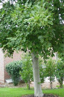Aspens: Not the Only Small Tree in Town - Alternatives to aspens for urban landscapes -- (alder shown)
