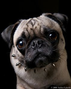 Tough Pug #pugs #dogs #watchwigs www.youtube.com/wigs