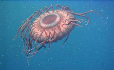 A deep-sea jellyfish in Japan that, when attacked by a predator, uses bioluminescence to 'scream' for help. Description from thetruthbehindthescenes.wordpress.com. I searched for this on bing.com/images