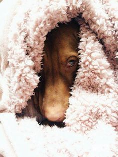 I like it in here........ Vizsla