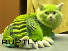Watch: Brave Groomer Turns Cat Into a Green Dragon http://www.peoplepets.com/people/pets/article/0,,20854812,00.html